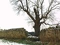 An Ancient Ash - geograph.org.uk - 1165813.jpg