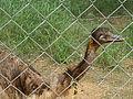 An Emu at Indira Gandhi Zoo park in Visakhapatnam (1).JPG