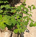 An unknown plant with multicolored fruits at Kalyalpara, Jagadishpur Hat, Howrah.jpg