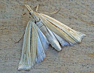 <i>Ancylolomia</i> Genus of moths