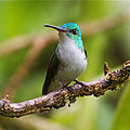 Andean Emerald.jpg