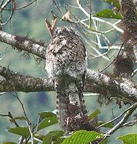 Andean Potto (Nyctibius maculosus) on a branch