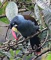 Andigena hipoglauca Terlaque andino Grey-breasted Mountain-Toucan (8610841709).jpg