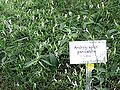 Andrographis-paniculata.jpg