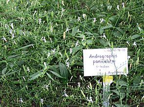Andrographis-paniculata