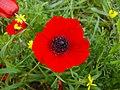 Anemone-coronaria0002.jpg