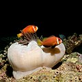 Anemone Fish - Flickr - moments in nature by Antje Schultner.jpg