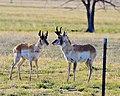 Antelope, aka Pronghorn (17203613086).jpg