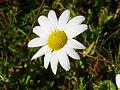 Anthemis vulgaris Cabezuela 2013-2-03 SierraMadrona.jpg