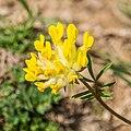 Anthyllis vulneraria in Taninges (2).jpg