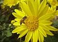Apis florea on Astreaceae 1.jpg
