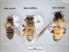 Trois abeille épinglées