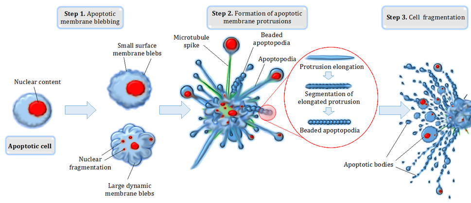 Apoptotic cell disassembly