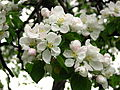 Apple blossom (Malus domestica) 09.JPG