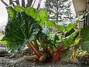 feuille et petioles de rhubarbe