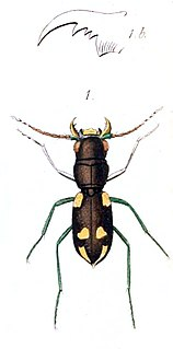 <i>Apteroessa</i> Genus of beetles