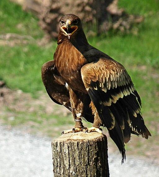 Aquila nipalensis 2010