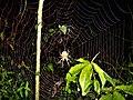 Araña tejiendo en la selva cruceña.jpg