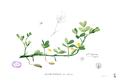 Arachis hypogaea Blanco1.157.png