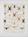 Arachnida Araneidea Vol 1 Table 33.jpg