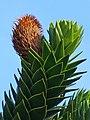 Araucaria araucana 0003.JPG