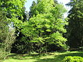 Arboretum des barres-gymnocladus dioicus-chicot du canada-1923.JPG