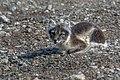 Arctic fox (js) 16.jpg