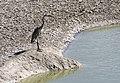 Ardea cinerea - Grey Heron, Malatya 05.jpg