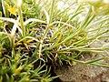Arenaria hookeri (23104795263).jpg