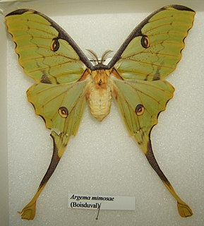 <i>Argema mimosae</i> Species of moth