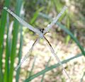 Argiope anasuja. Giant Cross or Signature Spider - Flickr - gailhampshire.jpg