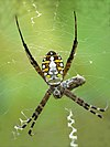 Argiope catenulata in Kadavoor.jpg