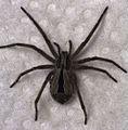 Argoctenus sp. female.jpg
