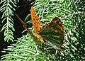 Argynnis paphia mating.jpg