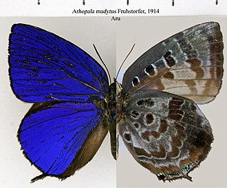 Arhopala - Bright oakblue (Arhopala madytus: centaurus group)