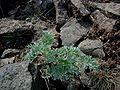 Artemisia-absinthium.JPG