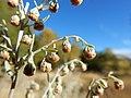 Artemisia absinthium - absinthium - Flickr - Matt Lavin (1).jpg