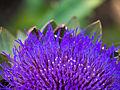 Artischocke, Cynara cardunculus, Blüte.jpg