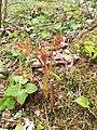 Aruncus dioicus, Carciato, Val di Sole 01.jpg