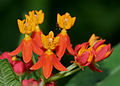 Asclepias curassavica (Mexican Butterfly Weed) W2 IMG 1454.jpg