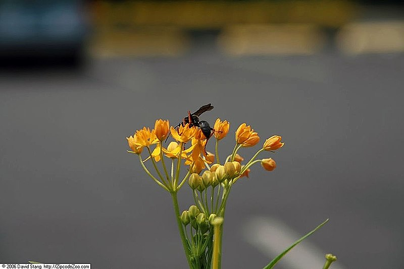 File:Asclepias x Gold Butterfly 1zz.jpg