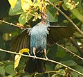 Asian Fairy Bluebird. AMSM2169.jpg