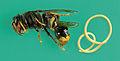 Asian Hornet (Vespa velutina) & Mermithid nematode (green background).JPG