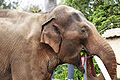 Asian elephant eating - melbourne zoo.jpg