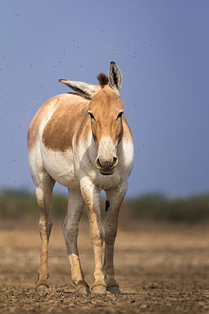 Indian wild ass - Individual from Odu-Khari in the Little Rann of Kutch