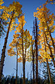Aspens (Populus tremuloides) during autumn.jpg