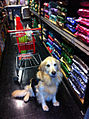 Assistance dog out shopping.jpg