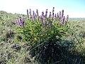 Astragalus bisulcatus (26977226364).jpg