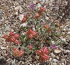 Astragalus lentiginosus 1.jpg