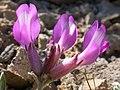 Astragalus purshii glareosus (3848611489).jpg